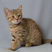 Британские котята шоколадного окраса. Питомник Ольги Барсуковой