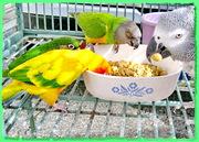 Волнистые попугаи продаю,  кореллы,  неразлучники и др. виды попугаев.