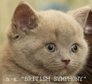 Лиловые и шоколадные с белым британские котята.