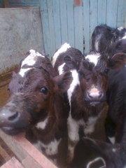 Телята и дойная корова