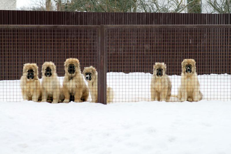 Купить щенка, Кавказская овчарка, Москва.