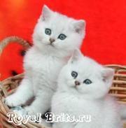 Питомник британских кошек Royal Brits