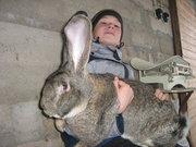 Кролики гиганты (ризен,  фландр)