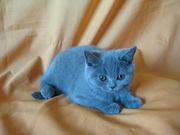 Предлагается британская кошечка голубого окраса