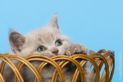 Продается британский кот