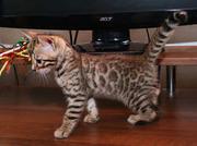 Продаются Мини леопарды