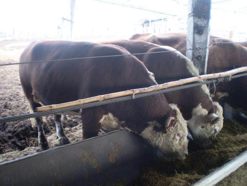 Откорм бычков на привязи видео, особенности выращивания бычков на откорм: как и чем кормить молодняк