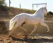 Чистокровный Испанский Конь (PRE)