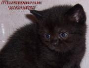 Британские черные котята из питомника VIVIAN.