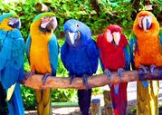 крупные попугаи ара какаду