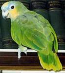 попугаи венесуэльский амазон