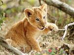 дикие кошки тигрята львята