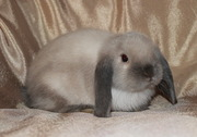 Карликовые крольчата,  питомник