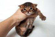 предлогаю купить котят чаузи ф1