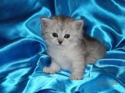 Киевские кошки-хохлушки