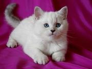 Британский котик шиншилла с голубыми глазами!
