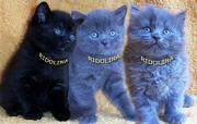 Британские котята из питомника Ridolina.