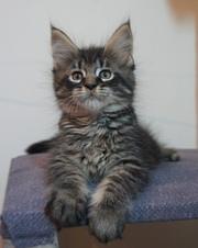 Мейн кун крупные котята отличного типа!