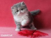 Персидские и экзотические котята.