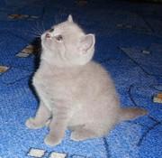 продается котенок-девочка