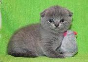 Шотландские котята от титулованных родителей.