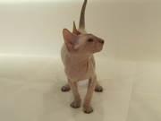 Продам котенка породы Петерболд