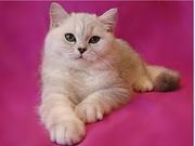 Британский котик шиншилла с зелеными глазами!