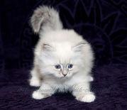 продажа невских маскарадных котят