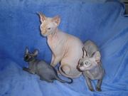 Котята канадского сфинкса из питомника