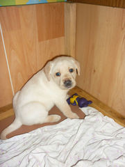 Продам щенков лабрадора-ретривера палевого окраса 1 месяц все девочки!
