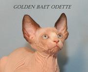 Котята породы канадский сфинкс из питомника Golden Baet
