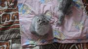 Вислоухие, британские котята с клубными документами