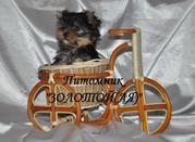 Мальтийская болонка,  Померанский шпиц,  Йоркширский терьер щенки