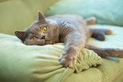 Кошка британка 2 года