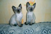 Сиамские котятки в хорошие ручки отдаем не дорого