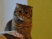 Отдам 2-х шотландских вислоухих кошек