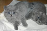 две кошки для хорошего дома.