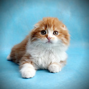 Шотландские котята яркие фолд и страйт шоу класс
