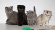 Британские,  Шотландские котята