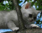 Продажа котят скоттиш-страйт