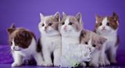 Британские котята красивых редких окрасов