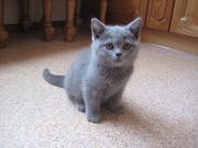 Британские котята,  голубого,  лилового и шоколадного окраса!