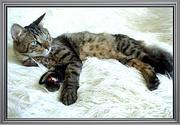 в дар сибирский котик Макс