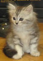 Пушистый котенок страйт серебристая черепашка