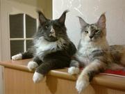 Породные котята мейн кун от крупных родителей
