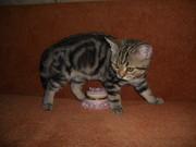 Британские котята редких драгоценных окрасов