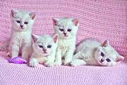 Продаются котята британской шиншиловой