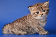 Британские котята красивых окрасов