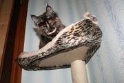 Перспективные котята под разведение,  шоу-класса. Доставка