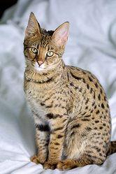 сервала,  каракал,  саванны и оцелот котят